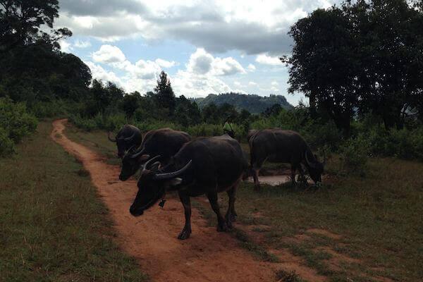 kalaw to inle lake trek views buffalo