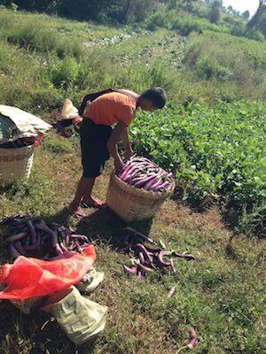 Kalaw trek farmers with Aubergines